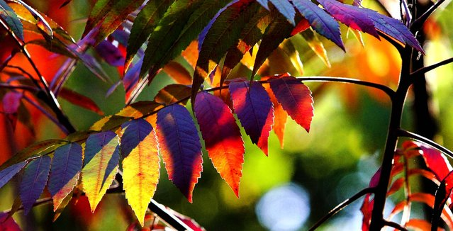 A rainbow-hued tree shows its fall colors at the Northland Arboretum in Baxter, Minn., September 24, 2013. (Photo by Kelly Humphrey/Brainerd Dispatch)