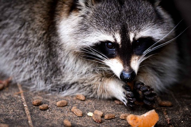 A raccoon takes a walk around the Zoo in Hof, Germany, on November 5, 2013. (Photo by Christoph Veeser/AFP Photo/DPA)