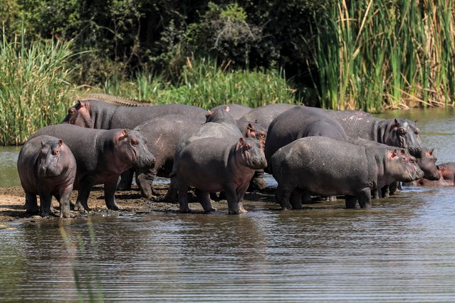 A bloat of hippos bask in the sun at the Nanglomoni dam, inside the Nairobi National Park in Nairobi, Kenya, 10 August 2021. (Photo by Daniel Irungu/EPA/EFE)