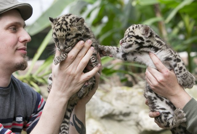 Baby clouded leopards, born early in March 2015, are presented by Robby Van der Velden (L), a biologist at the Olmense Zoo in Olmen, Belgium, April 16, 2015. (Photo by Yves Herman/Reuters)