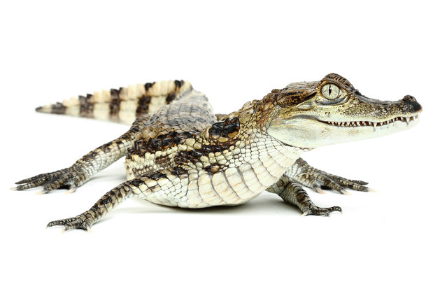 Caiman (Crocodilus). (Photo by Mickael Leger/Caters News)