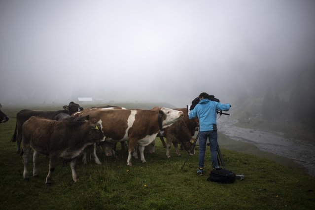 """A media representative is filming Kuehe, recorded on Thursday, September 16, 2021, on Alp Bargis near Trin. An app as part of the """"graubuendenHike"""" project is intended to show mountaineers near suckler cows and herd guard dogs. In the past there had been repeated unwanted encounters. (Photo by Gian Ehrenzeller/Keystone)"""