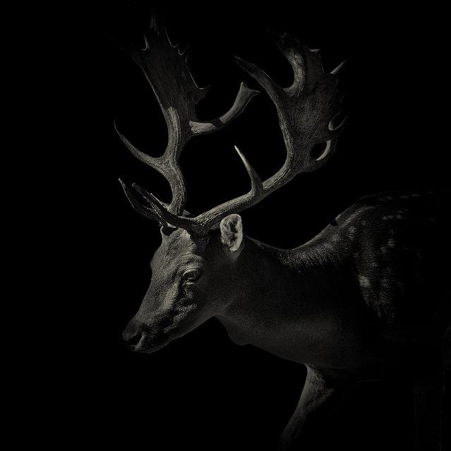 Stag. (Photo by Alex Teuscher/BNPS)