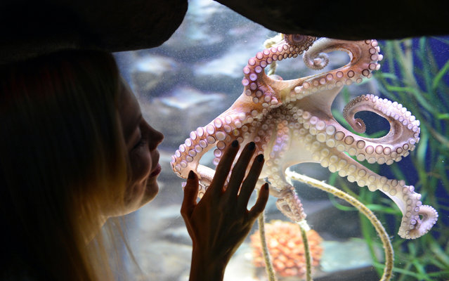 "Former German boxing world champion Regina Halmich observes a female octopus, who was baptized after her name, on January 30, 2014 in AquaDom and Sea Life Berlin during an exhibition ""octopus cave"". (Photo by Jens Kalaene/AFP Photo/DPA)"