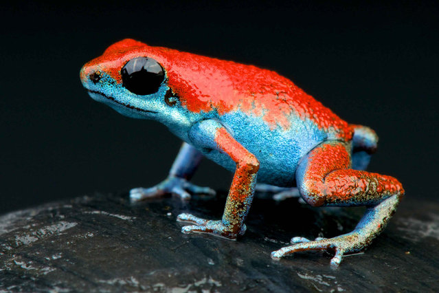 "Strawberry poison-dart frog (Oophaga pumilio ""escudo""). (Photo by Matthijs Kuijpers/The Guardian)"