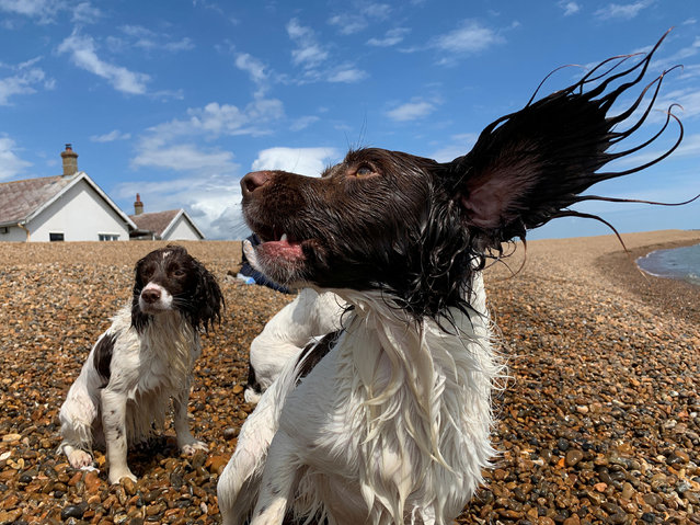 Dogs play on the beach at Shingle Street, Suffolk, Britain, June 15, 2019. (Photo by Matthew Tostevin/Reuters)
