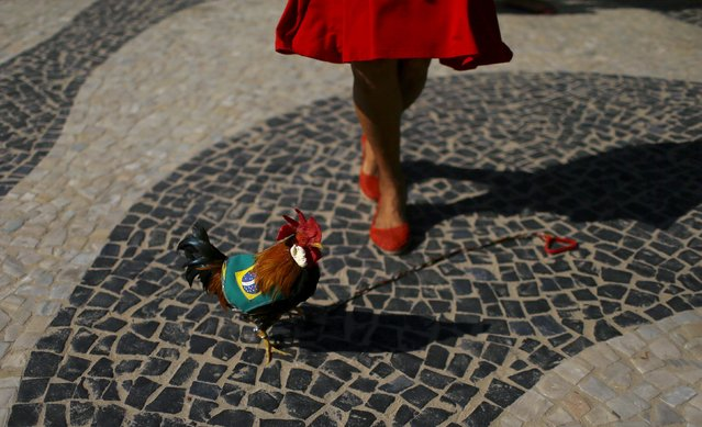 A woman plays with a rooster during a protest against Brazilian President Dilma Rousseff's impeachment in Rio de Janeiro, Brazil, April 17, 2016. (Photo by Pilar Olivares/Reuters)