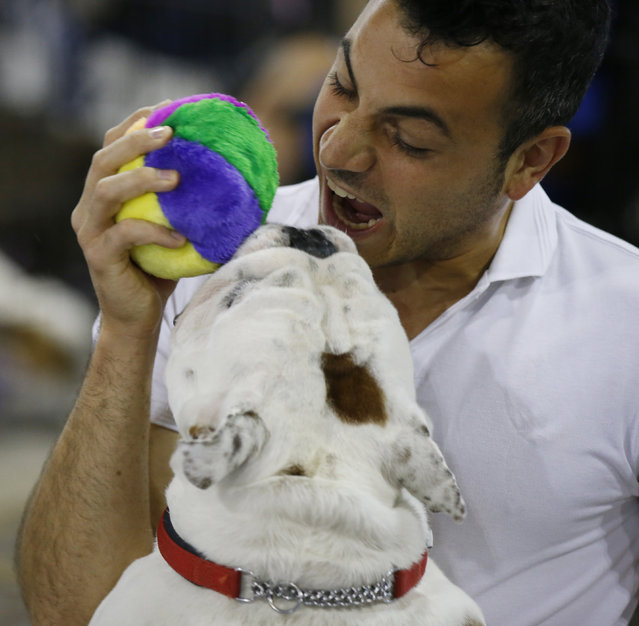 Stedorjoy Laphroaig, a male British Bulldog plays with its owner Luca Della Casa during the World Dog Show in Rho, near Milan, Italy, Saturday, June 13, 2015.  (AP Photo/Luca Bruno)