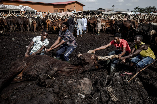A group of herdsmen pushes a cow out of the mud at Kara Cattle Market in Lagos, Nigeria, on April 10, 2019. (Photo by Luis Tato/AFP Photo)