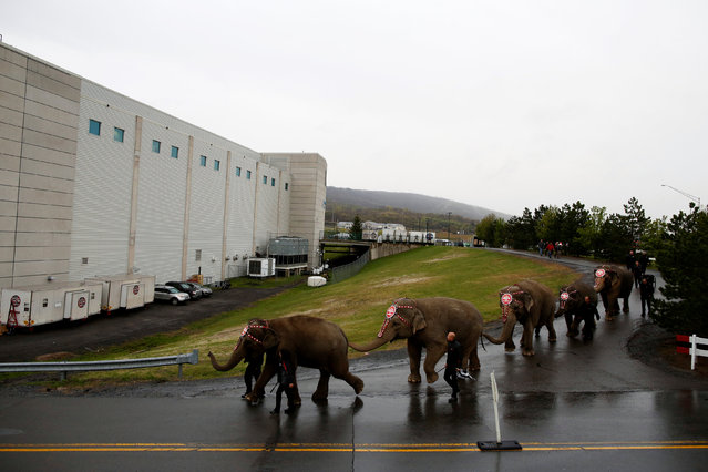 """Elephants are led to the arena before performing in Ringling Bros and Barnum & Bailey Circus' """"Circus Extreme"""" show at the Mohegan Sun Arena at Casey Plaza in Wilkes-Barre, Pennsylvania, U.S., April 29, 2016. (Photo by Andrew Kelly/Reuters)"""