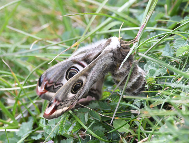 An emperor moth on chalk grassland near Cuckmere Haven in the South Downs national park. Emperor moths have a wingspan of up to 9cm and ornate wing patterns. (Photo by Tim Squire/South Downs National Park Authority)
