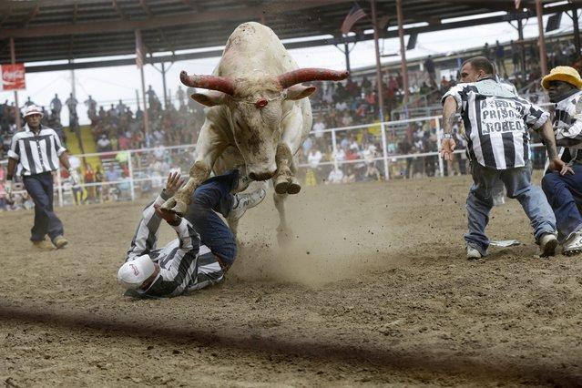 A bull rears above a prisoner as he and others try to snatch a poker chip tied to its head in the Guts & Glory event at the Angola Prison Rodeo in Angola, La., Saturday, April 26, 2014. Louisiana's most violent criminals, many serving life sentences for murder, are the stars of the nation's longest-running prison rodeo. (Photo by Gerald Herbert/AP Photo)