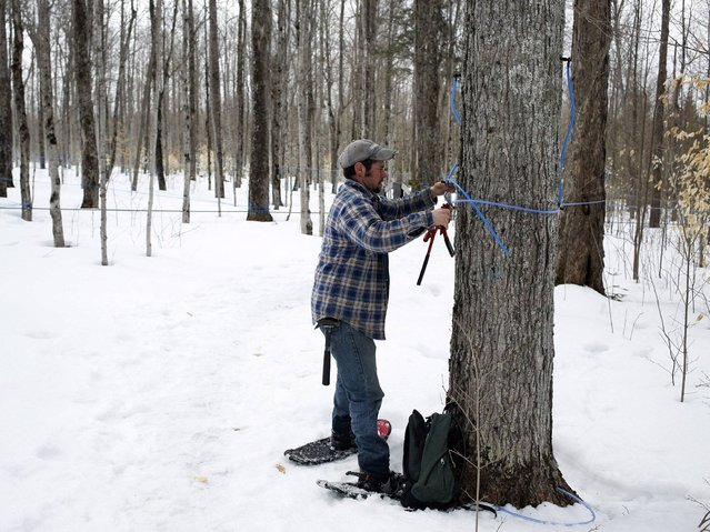 A worker uses snowshoes to navigate the snow filled sugarbush while repairing a tap line at Temple's Sugar Camp in Fallbrook, Ontario, Canada, 02 April 2014. The annual maple syrup season marks the end of the often brutal central Canadian winters and heralds the beginning of spring. The maple tree, whose leaf dominates the Canada's flag, plays both a symbolic and practical role in the identity of Canadians who produce around 95 percent of the world's supply of maple syrup. (Photo by Stephen Morrison/EPA)