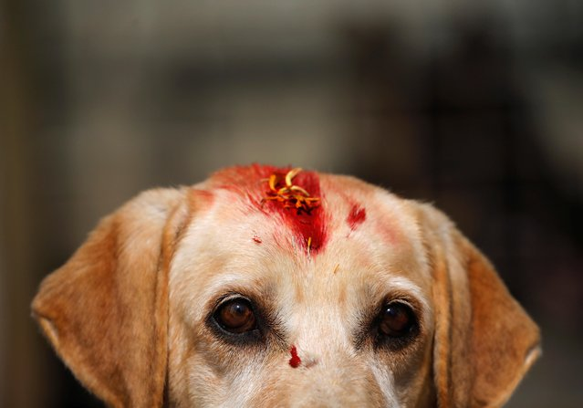 "A dog with ""Sindoor"" vermillion powder on its forehead is pictured after being worshipped during the dog festival as part of Tihar celebrations, also known as Diwali, in Kathmandu, Nepal on October 27, 2019. (Photo by Navesh Chitrakar/Reuters)"