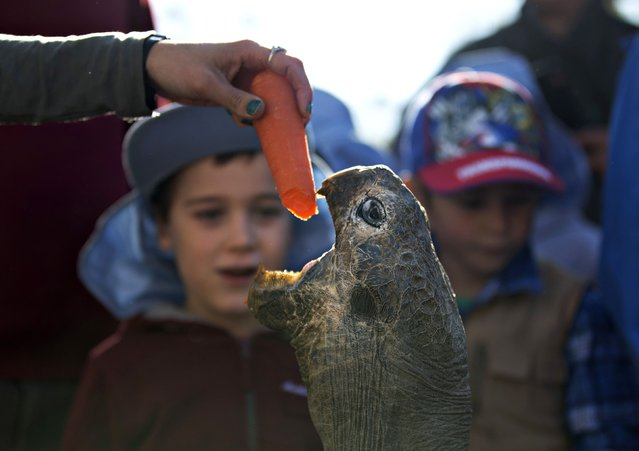 Hugo, a 63-year-old Galapagos Tortoise, is enticed out of his enclosure with a carrot fed to him by a keeper before his annual weighing at the Australian Reptile Park in Somersby near Sydney, July 1, 2014. Once a year Hugo's massive body is carried by four men and a forklift to an industrial scale to assess his health and at 166 kilograms (366 lbs), he weighs one kilogram more than last year. The life expectancy of a Galapagos Tortoise is up to 180 years. (Photo by Jason Reed/Reuters)
