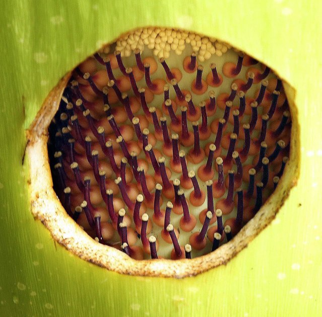 A hole is cut into the corpse flower so that it can be pollinated. (Photo by Bill Ingram/The Palm Beach Post)
