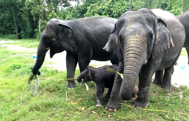 The Singapore Night Safari's first baby elephant calf (C) to be born in six years, is seen as she plays at the zoo, June 28, 2016. (Photo by Pedja Stanisic/Reuters)