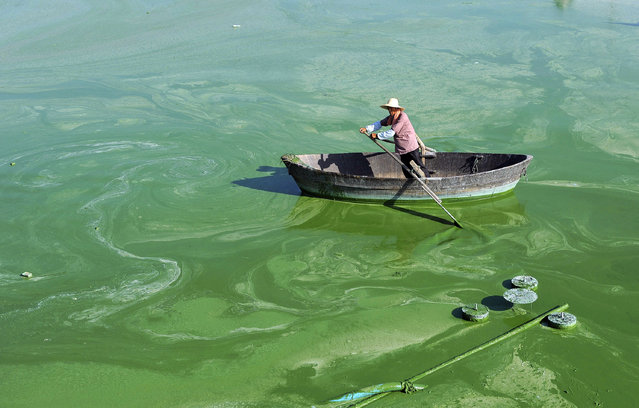 A worker rows a boat in Chaohu Lake, filled with blue-green algae, in Hefei, Anhui province July 23, 2012. The local environment protection department implemented machines to pump the algae from the lake to a treatment reservoir where it would be decontaminated and recycled, which was the latest solution to fight off blue-green algae on the Chaohu Lake. The new method is able to deal with almost a thousand tonnes of blue-green algae every day, according to local media. (Photo by Reuters/Stringer)