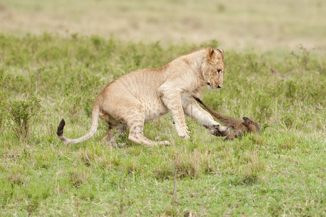 A lion almost catches the mongoose on September 10, 2011 in Maasai Mara, Kenya. Four lions were left with their tails between their legs when a mongoose bravely took on the predators. (Photo by Jerome Guillaumot/Barcroft Media)