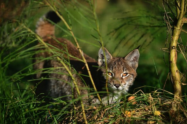 One of the Northern Lynx kittens, explores their enclosure at the Highland Wildlife park on October 9, 2012 in Kingussie, Scotland. The feline twins are believed to be the type of lynx found historically in Scotland. The Highland Wildlife Park specialises in Scottish animal species, both past and present, and species that are well adapted to cold weather.  (Photo by Jeff J. Mitchell)