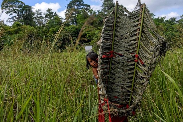 A Waiapi girl is seen with her mother at a manioc's field, while harvesting to prepare Caxiri, a craft beer made with Manioc, imbibed daily by men, women and children when is not yet sour yet, at the Waiapi indigenous reserve in Amapa state in Brazil on October 13, 2017. (Photo by Apu Gomes/AFP Photo)