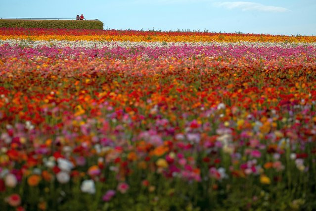A couple look across the closed and empty flower fields of Carlsbad during the outbreak of the coronavirus disease (COVID-19) in Carlsbad, California, U.S., May 7, 2020. (Photo by Mike Blake/Reuters)