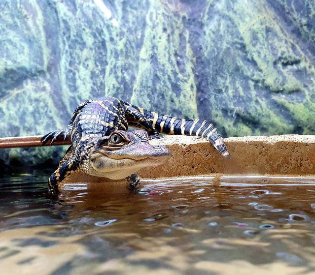Highly commended, In the Moment – People's choice category: Perfectly Poised, by Clare Wilkie at Crocodiles of the World. Species: American alligator. (Photo by Clare Wilkie/BIAZA 2020 Photography Competition)