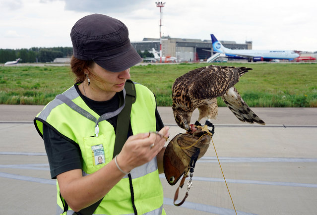 Employee of ornithological flight support service Nika Ryzhova-Alenicheva feeds her hawk, which is used to control fauna to avoid bird strikes during takeoffs and landings, at Domodedovo airport outside Moscow, Russia September 2, 2016. (Photo by Maxim Zmeyev/Reuters)