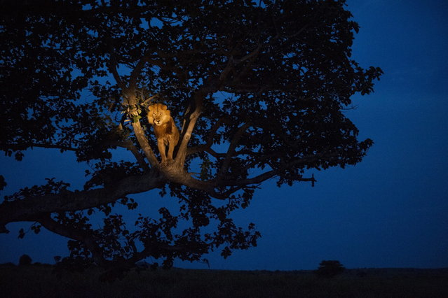 Uganda, 2007. A lion climbs a tree to sleep, in Uganda's Queen Elizabeth Park. (Photo by Joel Sartore