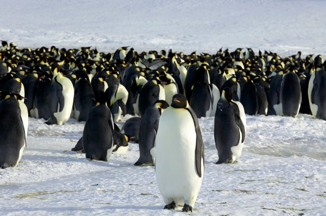 Emperor penguins are seen in Dumont d'Urville, Antarctica in this file photo from April 10, 2012.  Scientists on October 7, 2015 unveiled the most comprehensive account of the avian family tree ever formulated, detailing how modern bird groups are connected based on genome-wide data from 198 living bird species. They focused in particular on understanding the group called Neoaves, encompassing more than 90 percent of all birds. (Photo by Martin Passingham/Reuters)