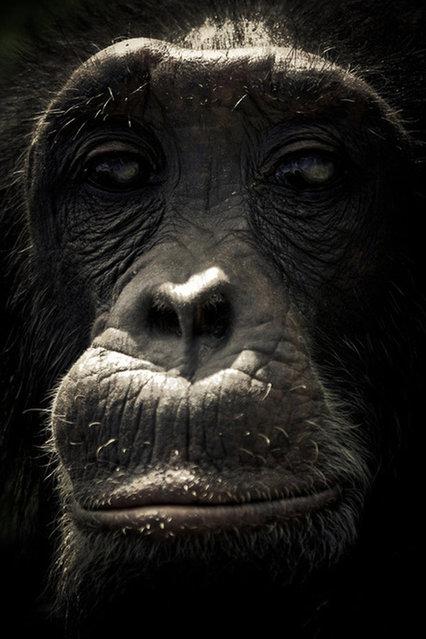 Chimpanzee Sanctuary By Gabi Guiard
