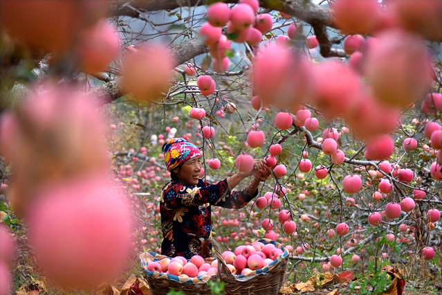 A farmer harvests apples at an apple orchard on October 10, 2020 in Yiyuan County, Shandong Province of China. (Photo by Zhao Dongshan/VCG via Getty Images)