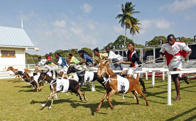 Goat handlers, known as jockeys, race to the finish line with their animals in one of several events held during the annual Buccoo Goat and Crab Race Festival at Buccoo Integrated Facility on Tobago Island, April  2, 2013. The event is part of the island's annual Easter celebration. (Photo by Andrea De Silva/Reuters)