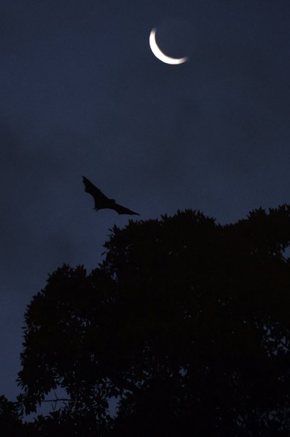 A bat flys over an inner-city Sydney park on November 25, 2014 as New South Wales is set to unveil tougher measures to tackle bats after three flying foxes were found to be carrying the deadly lyssavirus, officials said.  The New South Wales government fears transmission of the potentially fatal Australian bat lyssavirus (ABLV) to humans and the state's health department has issued a warning to residents not to approach the bats. (Photo by William West/AFP Photo)