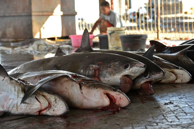 This picture taken on November 9, 2014 shows sharks for sale as a man removes the fins at a traditional market in Tanjung Luar in Lombok, West Nusa Teggara. Hundreds of sharks are hauled ashore every day at a busy market on the central Indonesian island of Lombok, the hub of a booming trade that provides a livelihood for local fishermen but is increasingly alarming environmentalists. (Photo by Sonny Tumbelaka/AFP Photo)