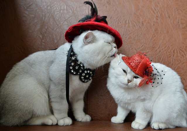 Two Scottish shorthair cats dressed with red hats are pictured during a cat exhibition in Bishkek, on October 16, 2016. Cat lovers from Kyrgyzstan, Kazakhstan and Uzbekistan took part in the exhibition. (Photo by Vyacheslav Oseledko/AFP Photo)