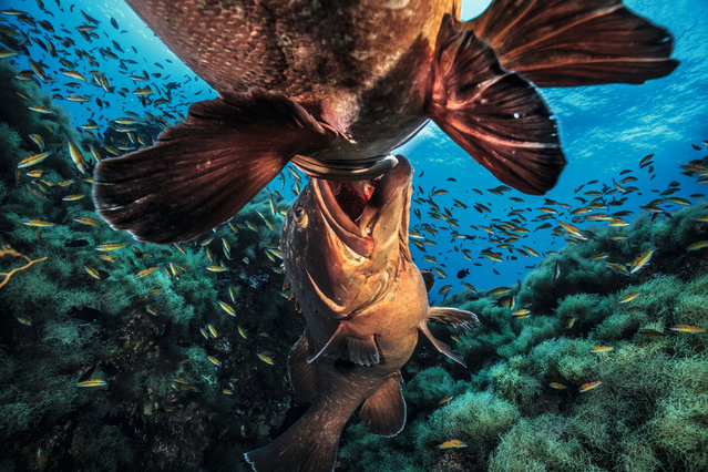 "Big fish fight by Jordi Chias Pujol. ""These two huge dusky groupers are in a violent struggle. The prize, overlying an undersea volcanic pinnacle off the Azores, is a strip of prime spawning territory into which the owner can attract females. It encompasses a rocky retreat, but the key aspect is that a strong current runs overhead – ideal for carrying away fertilised eggs. Males start out as females, but when they get to be 10-15 years old, and if there aren't too many males around, they change sеx"". (Photo by Jordi Chias Pujol/Unforgettable Underwater Photography/NHM)"