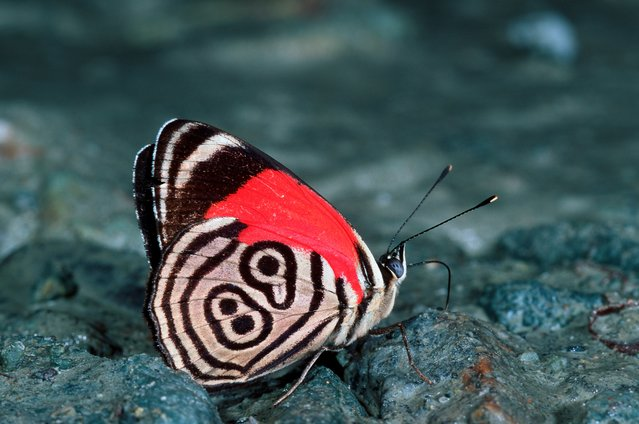 Considered a sign of good fortune in its native Central and South America, the Callicore butterfly's lucky numbers are 88 and 89. Emblazoned across each wing, the striking digits help the species to attract mates amidst the flora and fauna. The exact markings of the 88'89 butterfly depend on the specific subspecies. There are 12 types, with the marking taking a different form, colour and shape each time. (Photo by Thomas Marent/Getty Images/Visuals Unlimited, Inc.)