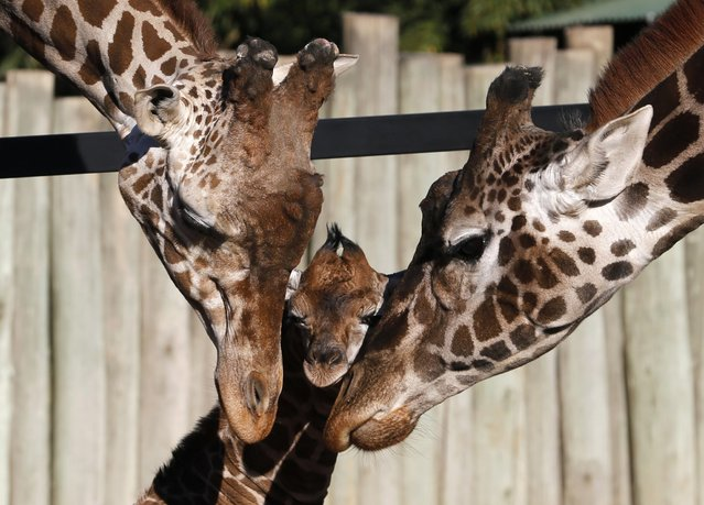 Six-day-old newly born giraffe calf (C) is seen next to its parents six-year-old father Buddy (L) and eleven-year old mother Jacky at their enclosure in Buenos Aires' zoo July 16, 2013. The baby giraffe, still without a name, was one meter (3.2 feet) tall and weighed 85 kilos (187 pounds) when it was born, and the zoo launched a contest amongst children to find a name for it. (Photo by Enrique Marcarian/Reuters)