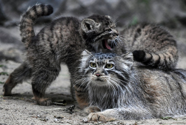 Pallas' s cat kittens with theit mother in an enclosure at the Novosibirsk Zoo, Novosibirsk, Russia on July 11, 2018. Pallas' s cat, also known as manul, is a small wild cat native to montane steppes of the Central Asia and listed as an endangered species. (Photo by Kirill Kukhmar/TASS)