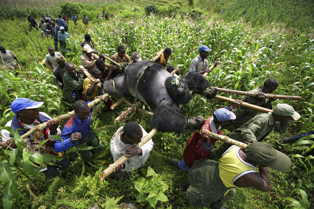 2008 Visa d'or Feature: Brent Stirton. Conservation Rangers from an Anti-Poaching unit work with locals to evacuate the bodies of four Mountain Gorrillas killed in mysterious circumstances in the park,  July 24, 2007, Virunga National Park, Eastern Congo. (Photo by Brent Stirton/Exclusive by Getty Images)
