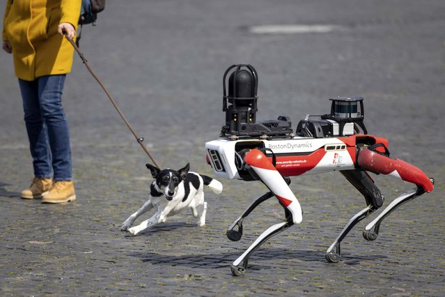 Spot, a robot with dog-like movements, walks past a dog in Cathedral Square in Erfurt, Germany on April 20, 2021. Security service provider Ciborius, a provider of robotic security solutions with artificial intelligence, presented its artificial employee with high-resolution 360-degree all-round camera, ultra-bright LED light and a light detection system on Domplatz. (Photo by Michael Reichel/dpa)