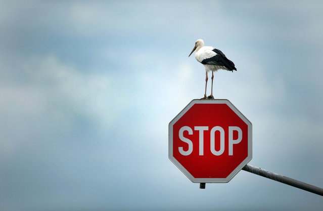 A stork perches on a stop sign near Immerath, Germany, 15 October 2013, before continuing his journey to search for his favourite food targets – mice, frogs and other small animals. (Photo by Federico Gambarini/EPA)