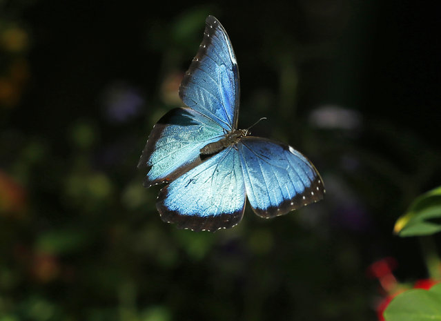 A Common Blue Morpho butterfly floats through the air as it and hundreds of other butterflies from around the world fill the bird aviary for the next month at the San Diego Zoo Safari Park in San Diego, California March 13, 2015. (Photo by Mike Blake/Reuters)