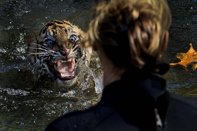 "A three-month-old Sumatran tiger cub named ""Bandar"" shows his displeasure after being dunked in the tiger exhibit moat for a swim reliability test at the National Zoo in Washington, on November 6, 2013. All cubs born at the zoo must take a swim test before being allowed to roam in the exhibit. Bandar passed his test. (Photo by Manuel Balce Ceneta/Associated Press)"