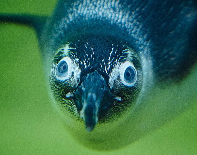 A jackass penguin dives in the zoo in Kronberg near Frankfurt, Germany, August 7, 2018. (Photo by Michael Probst/AP Photo)