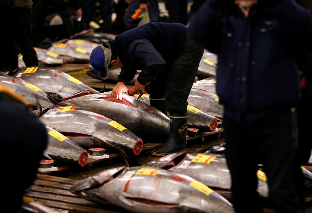 Wholesalers check the quality of fresh tuna displayed at the Tsukiji fish market before the New Year's auction in Tokyo, Japan, January 5, 2017. (Photo by Issei Kato/Reuters)