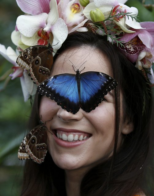 """Model Jessie May Smart poses with Blue Morpho butterflys, ahead of the opening of, """"Butterflies in the Glasshouse"""", at RHS Wisley in Wisley, Britain, January 13, 2017. (Photo by Peter Nicholls/Reuters)"""