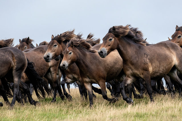 The annual gathering of the Tippbalake herd of Exmoor ponies at Brendon Common, United Kingdom on August 8, 2021. The ponies roam free on Exmoor and are rounded up once a year for health checks. (Photo by Rex Features/Shutterstock)