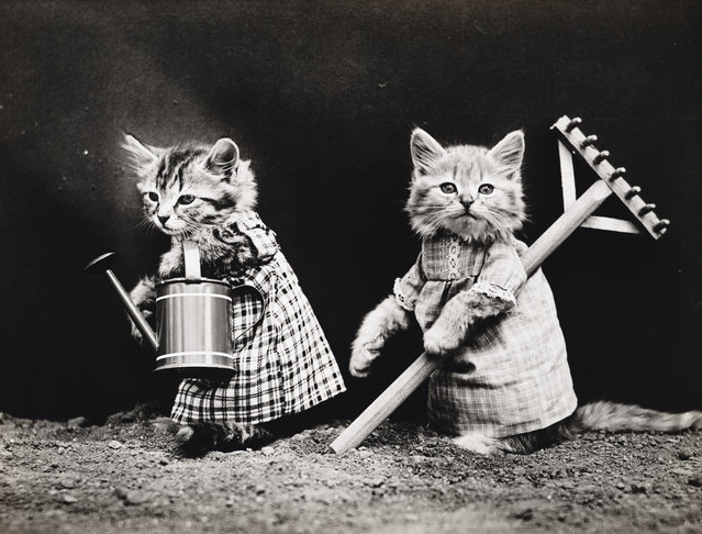 Photograph shows two kittens wearing dresses with a watering can and rake, 1914. (Photo by Harry Whittier Frees/Library of Congress)